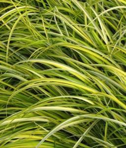 odon grass